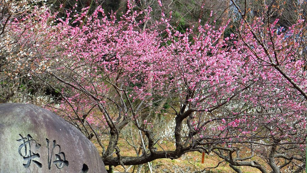 2017.2.18熱海梅園梅花祭001.jpg