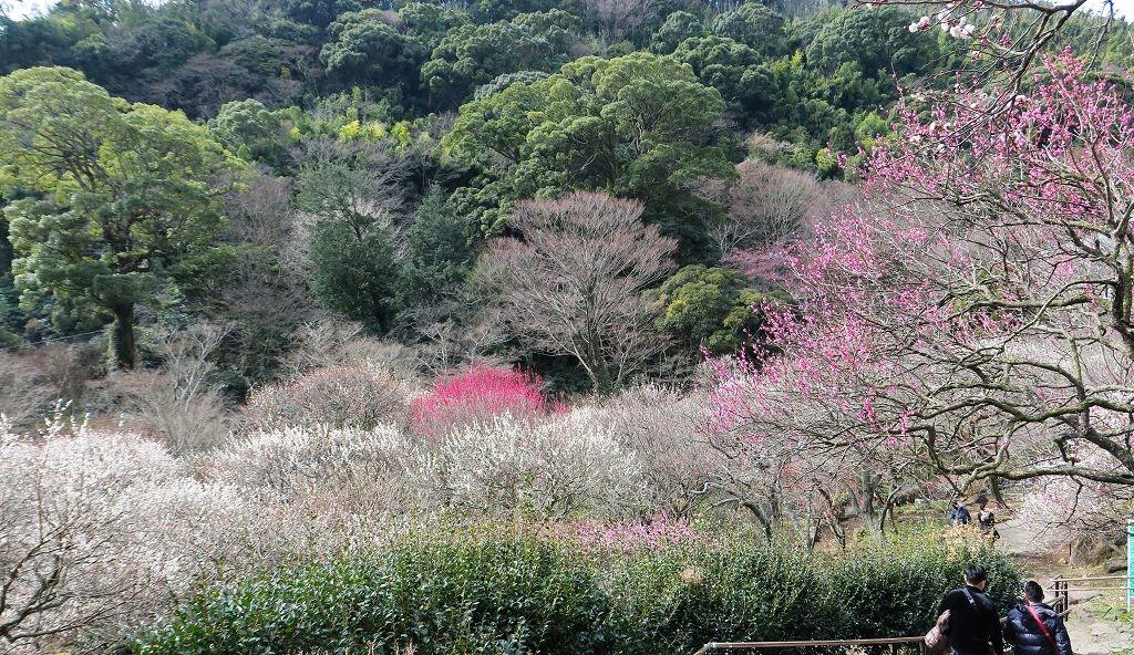 2017.2.18熱海梅園梅花祭003.jpg