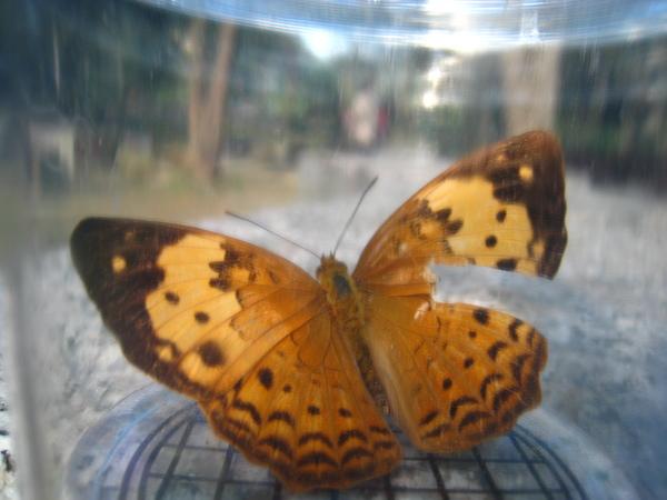 14~16.台灣黃斑蛺蝶.