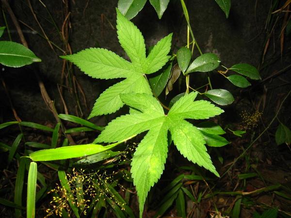 2.葎草~黃蛺蝶食草