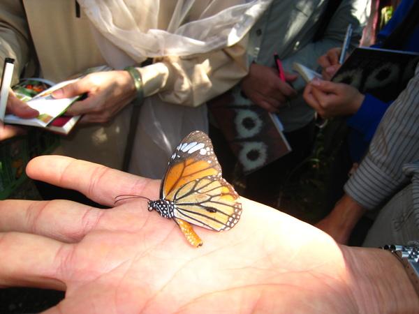 23.會裝死的且有性斑的公黑脈樺斑蝶