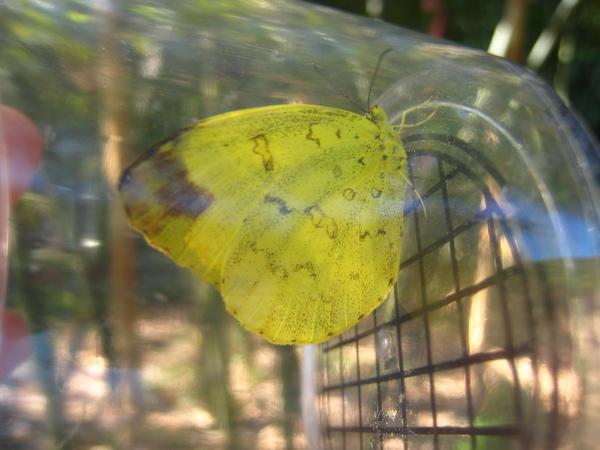 24~26台灣黃蝶