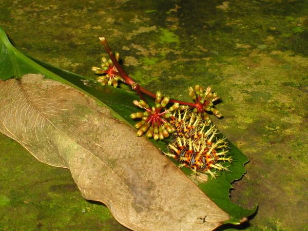 33.琉璃蛺蝶幼蟲與它的食草菝契花朵相近
