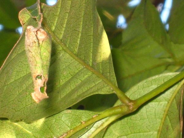 37~38山豬肉上大綠弄蝶蟲巢
