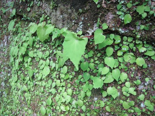 32岩生秋海棠