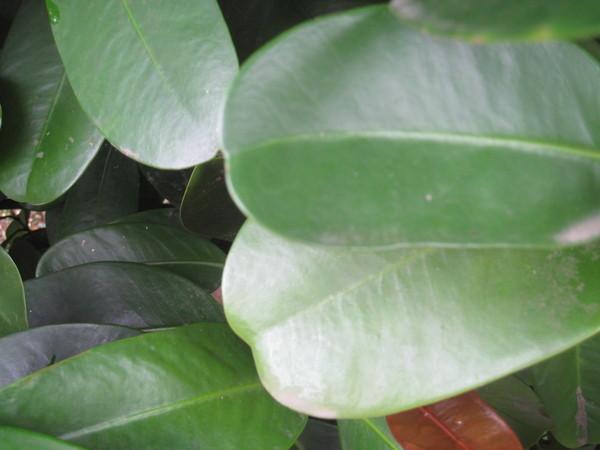 03福木~特殊下凹的葉緣