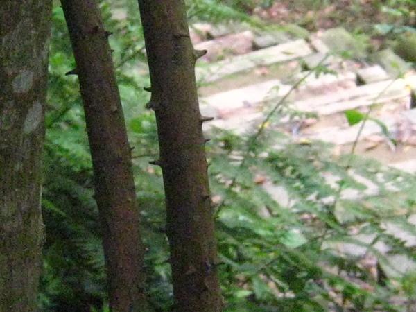 04-3薯蕷樹幹也帶刺
