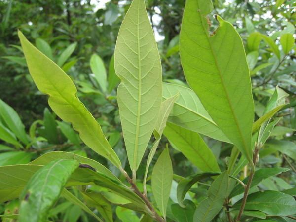 08小梗木橿子~葉基大約3對垂直支脈