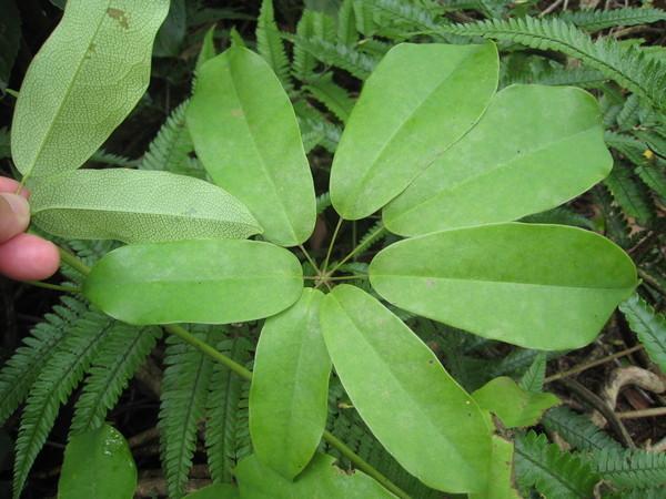 10-3六月野木瓜'其葉之正反面對照