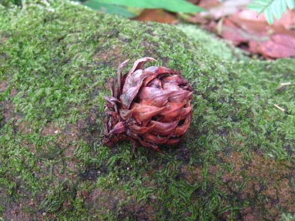 15福杉~裸子植物~具種鱗保護種子