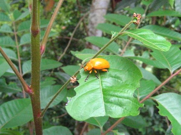 16-1大黃金花蟲