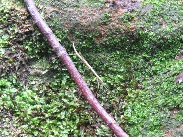 17-1竹節蟲
