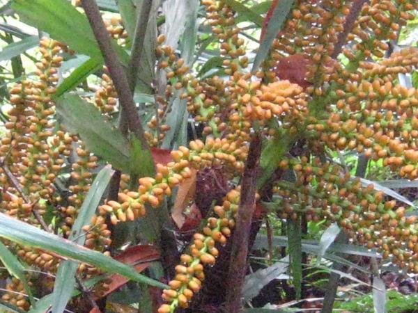 21-1滿是花苞的山棕