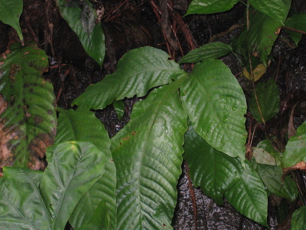25-3是藤坪珍貴植物