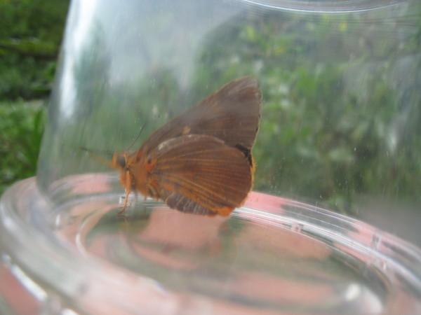 13鸞褐弄蝶