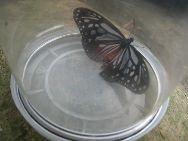 07-1小青斑蝶