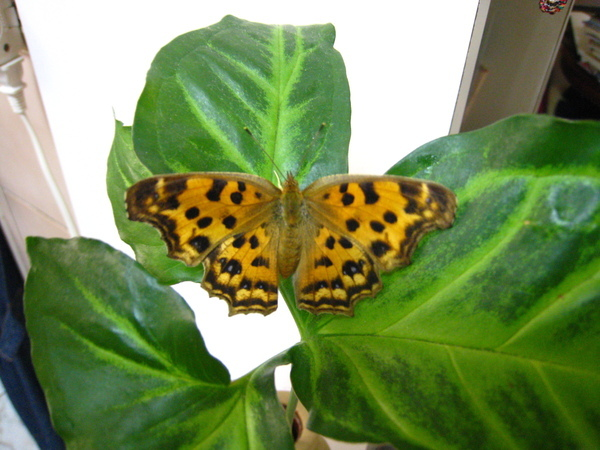 12準備展翅離去的黃蛺蝶