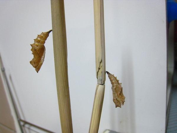 13蛹殼~蝶兒的化妝室