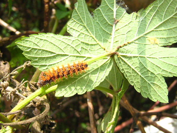 01葎草上的黃蛺蝶幼蟲