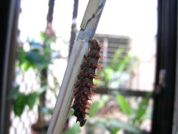 03黃蛺蝶幼蟲前蛹