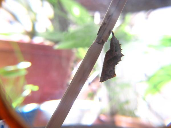 05黃蛺蝶幼蟲化蛹~側面