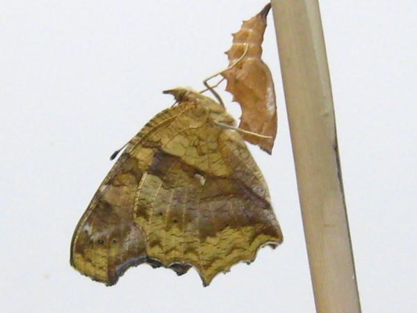 08剛羽化出來的黃蛺蝶和它的蛹殼