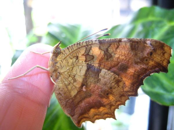 09我手上的黃蛺蝶