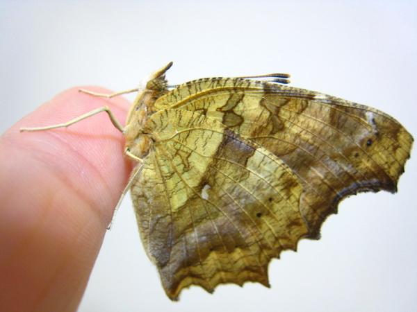 10不忍離去的黃蛺蝶