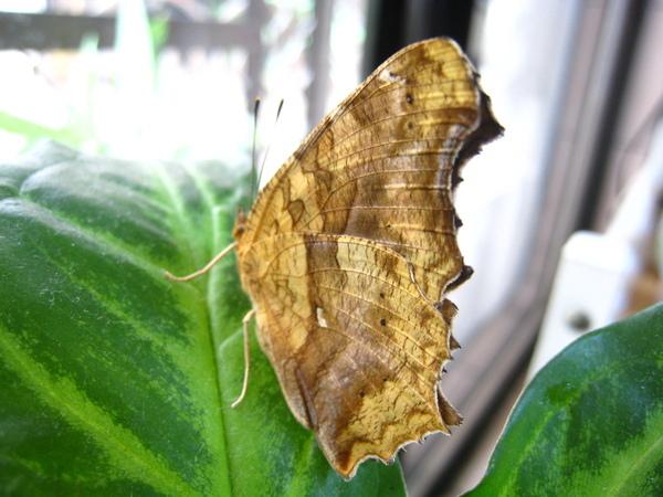 11盆栽上稍做休息的黃蛺蝶