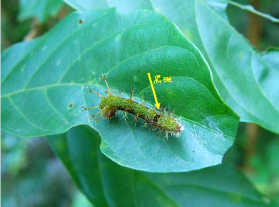19-04單帶蛺蝶終齡幼蟲