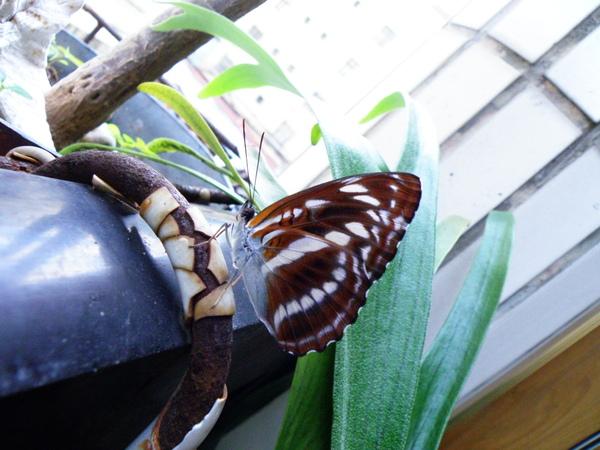 02-26單帶蛺蝶~母的1123