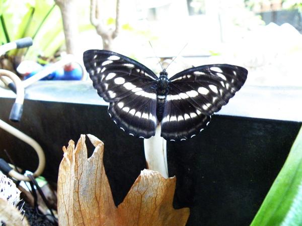 02-24單帶蛺蝶~母的1123