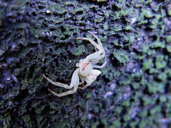 04-11三腳蟹蛛