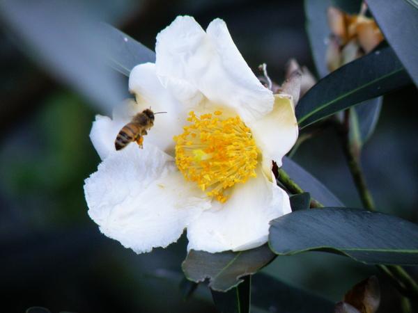 10-07大頭茶~雌花
