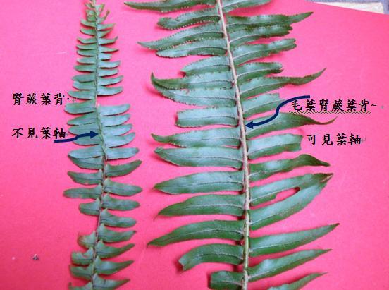 41腎蕨VS.毛葉腎蕨