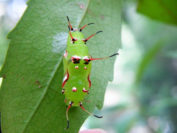 03-06魯花樹上台灣黃斑蛺蝶蛹
