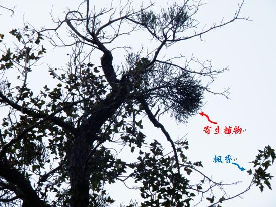 04-02楓香樹上寄生植物