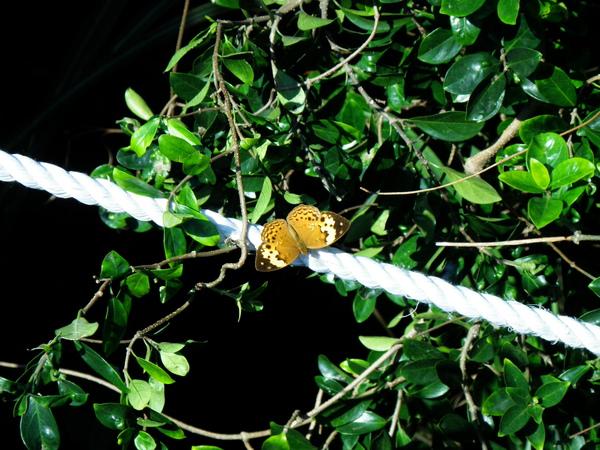 19台灣黃斑蛺蝶