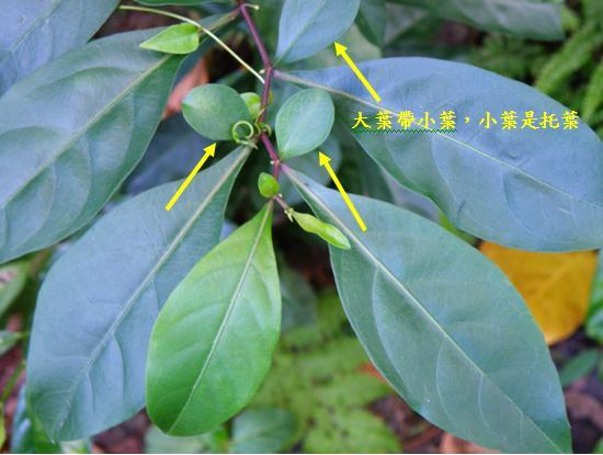 04-01瑪瑙珠~大葉帶小葉