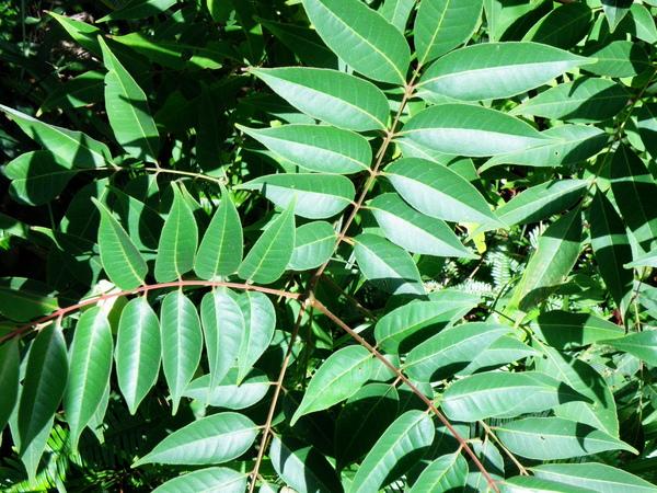 14-03臭辣樹~賊仔樹~紅葉軸