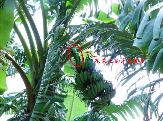 19-02香蕉真莖