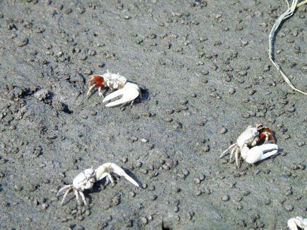 06-05清白招潮蟹