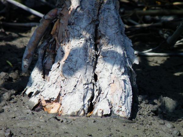07-03水筆仔~形成板狀根