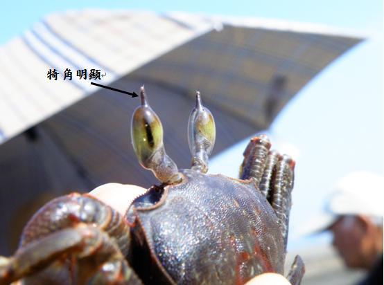 12角眼沙蟹犄角明顯