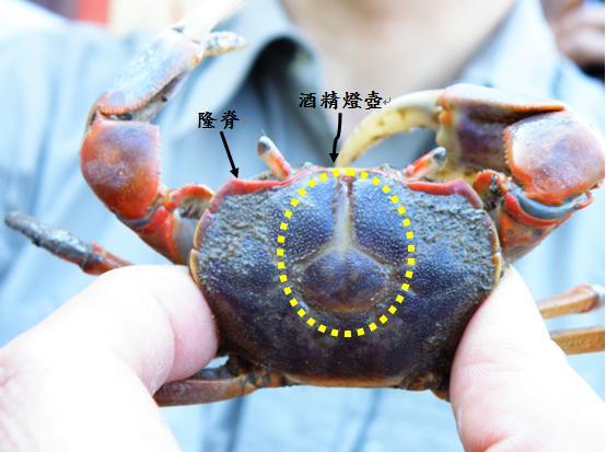 14.隆脊張口蟹
