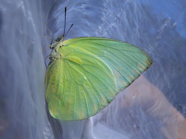 03淡黃蝶
