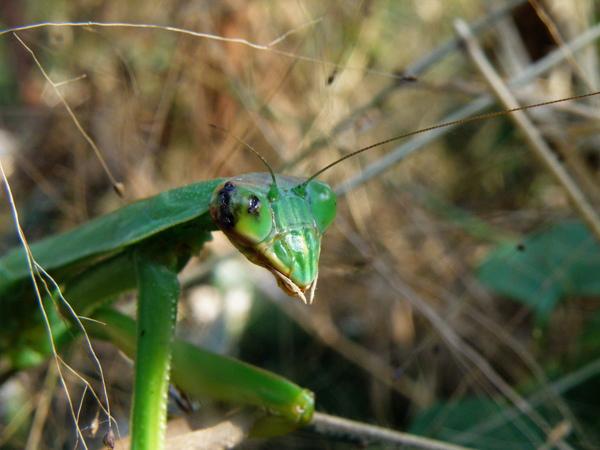 07-01螳螂~大顎
