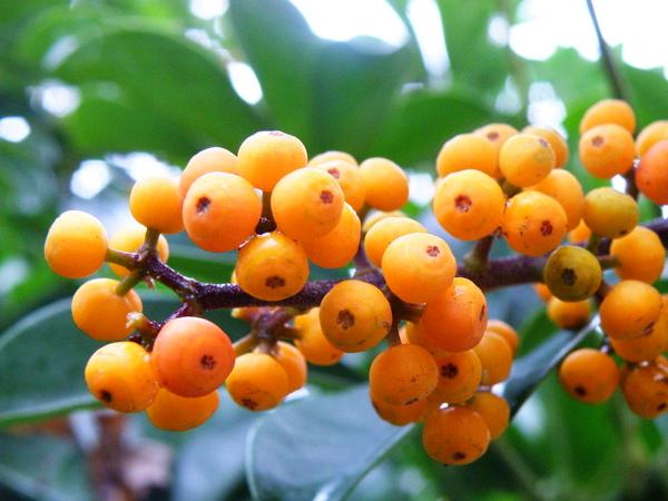 13-03鵝掌藤果實