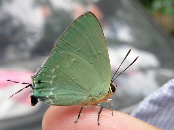 綠底小灰蝶