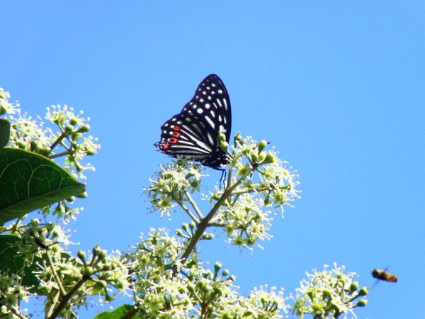 07紅星斑蛺蝶